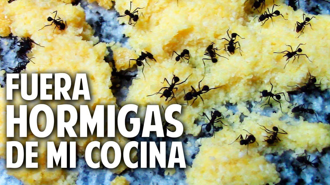 Como Acabar Con Las Hormigas En Mi Cocina Como Eliminar Hormigas De La Cocina Aniquilamiento Organico