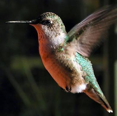 Aleteo de colibri