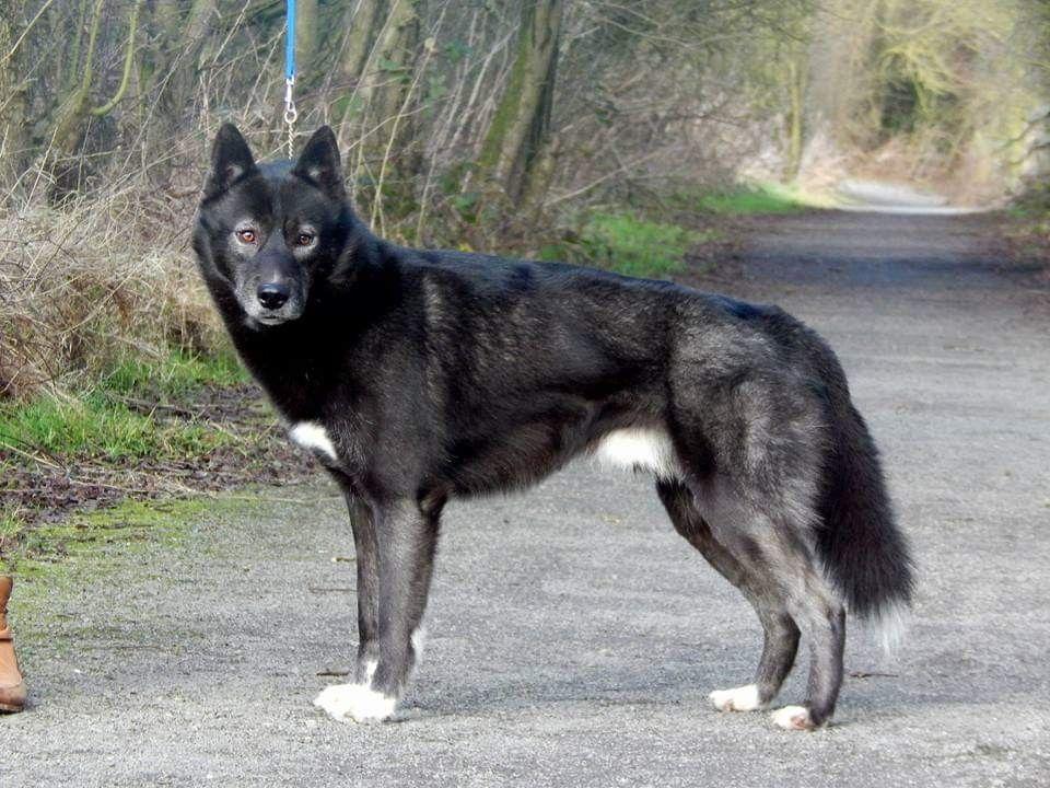 Wolfshund Schwarz