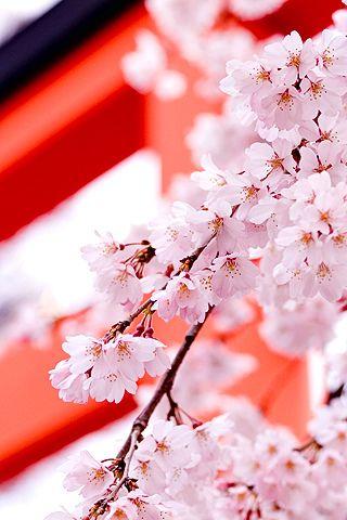 Flowers Iphone Wallpaper Idesign Iphone White Cherry Blossom Hd Nature Wallpapers Cherry Blossom Cherry blossom wallpapers hd