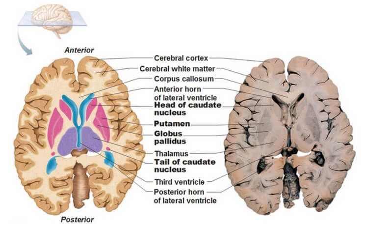 Basal Ganglia Anatomy Function Stroke And Disorders Anatomy