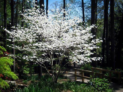 Cloud 9 Dogwood Dogwood Blooms Dogwood Trees Flowering Trees