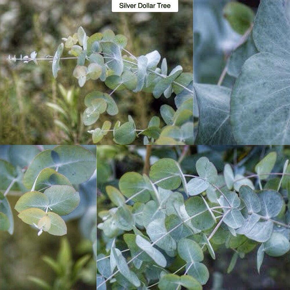 Silver Dollar Tree Eucalyptus Cinerea Type Evergreen Large Shrub