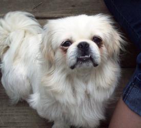 Adopt Pearl On Petfinder Pekingese Dogs Pekingese Dogs