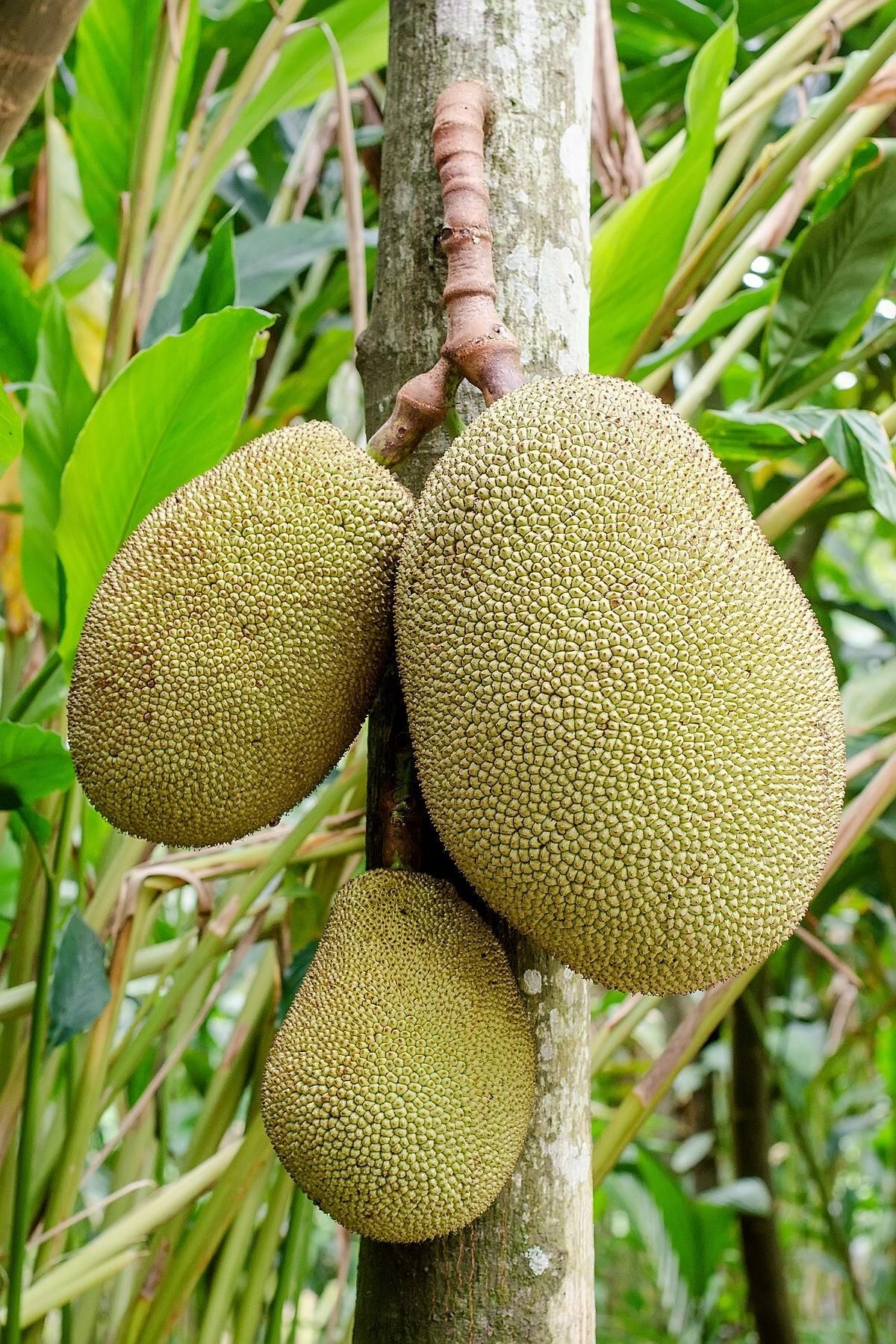 I Found This Jack Fruit In My Farm #