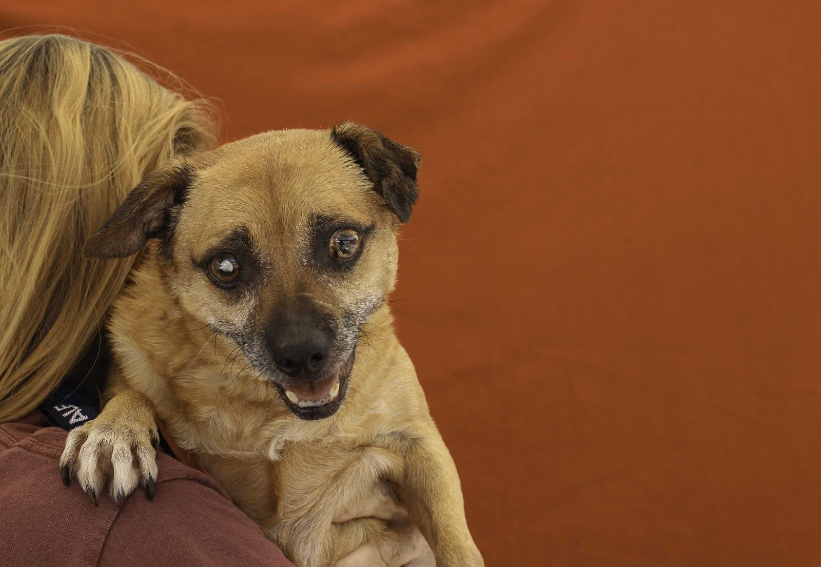 Chug dog for Adoption in Pasadena, CA. ADN617011 on