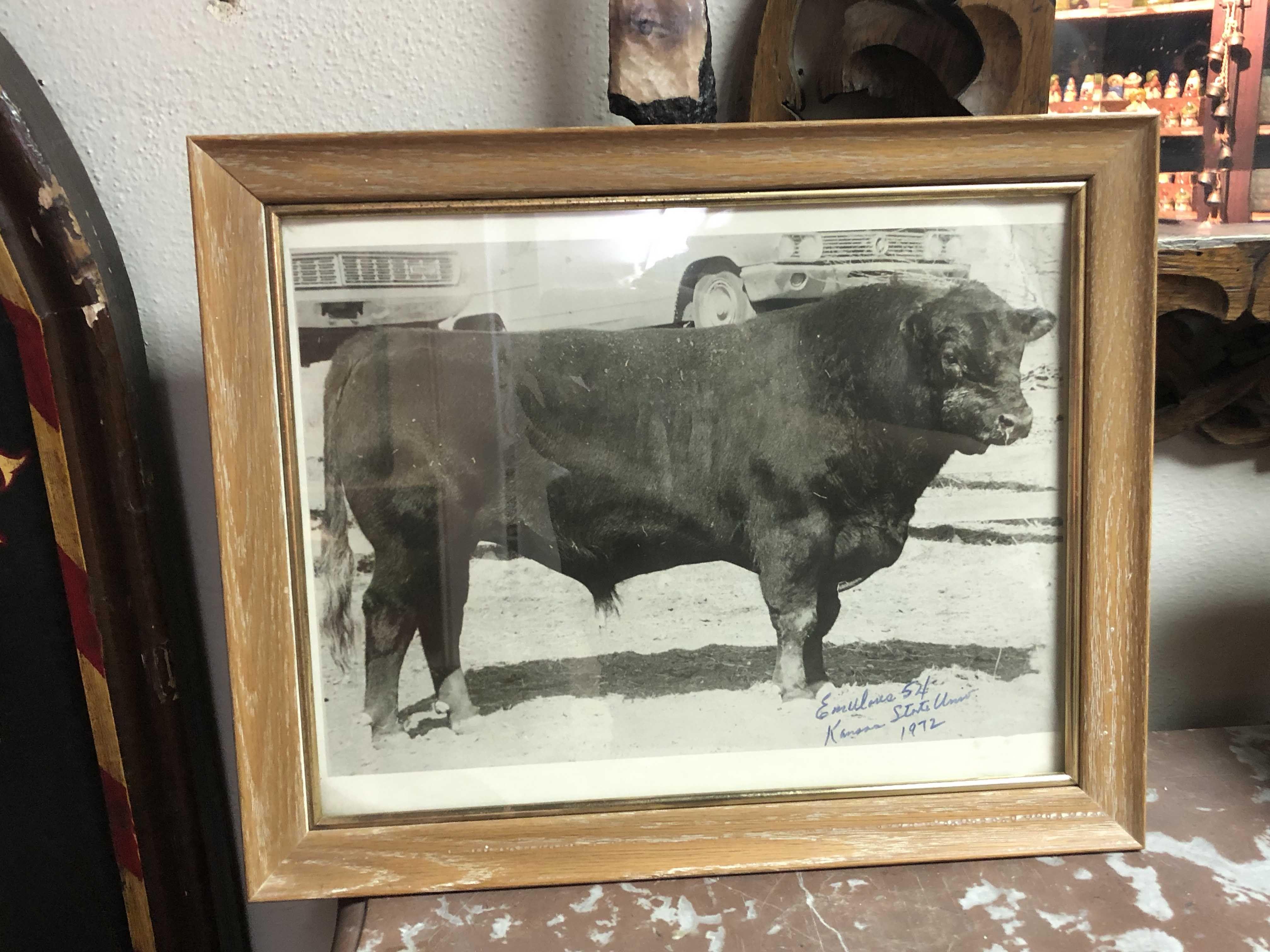 Bevo, Prize Kansas Bull Framed Photo Country Garden