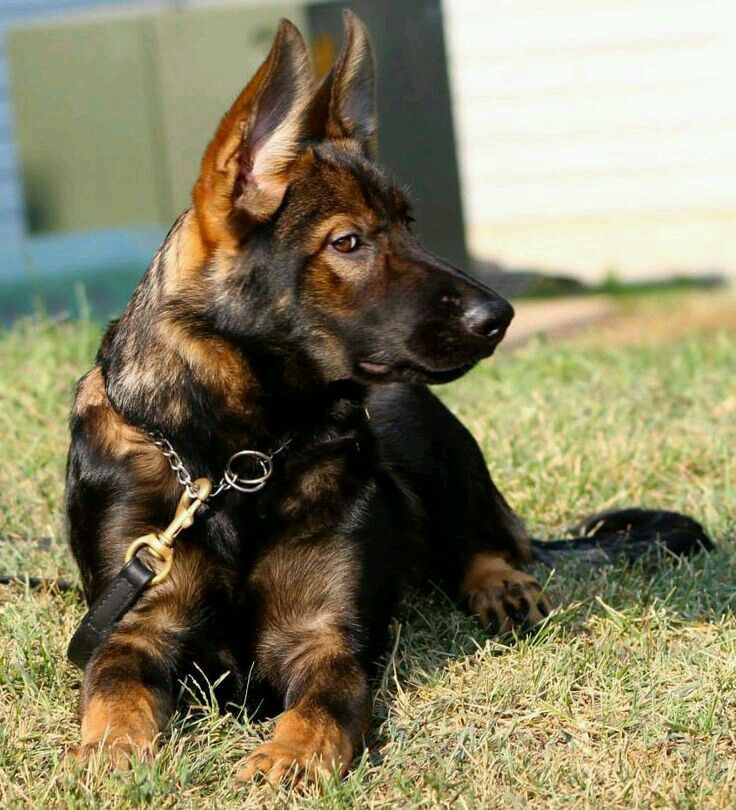 Click visit site and check out best german shepherd t