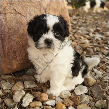 Shipoo Puppy When I M Done Having Babies I Will Get One Shipoo