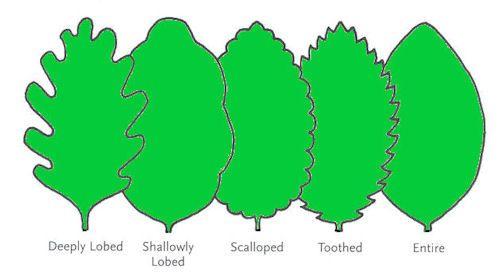 Michigantreeidentificationbyleaf leaf edges diagram from michigantreeidentificationbyleaf leaf edges diagram from here sciox Gallery