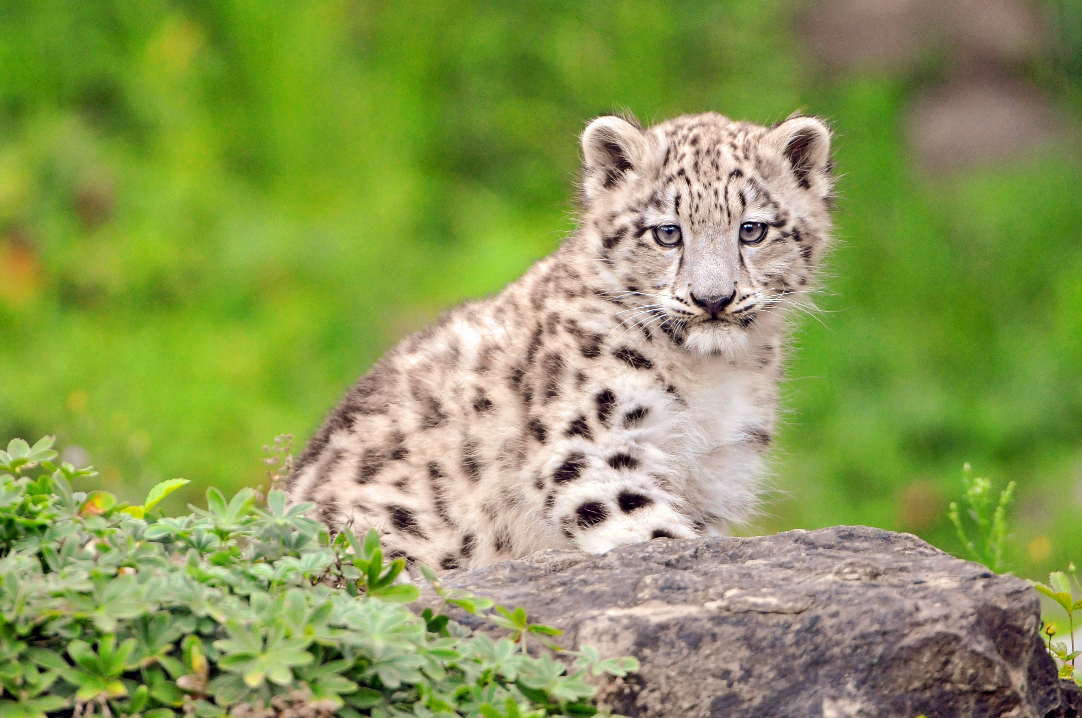 A New Picture Of The Cutest Snow Leopard Girl In Whole Universe D Taken Zoo Zurich Switzerland
