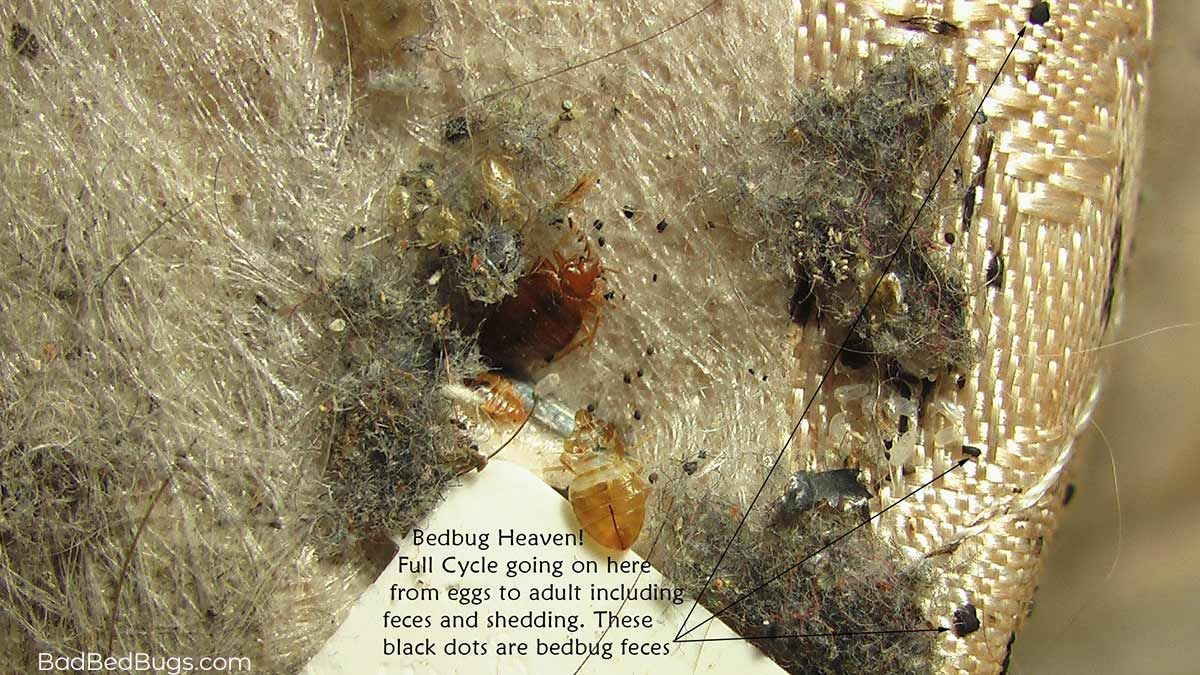 Infestation of Bed Bugs (With images) Bed bugs, Small