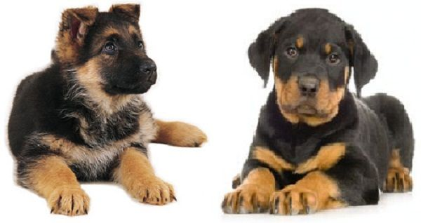 German Shepherd Mixed With Rottweiler Puppies Rottweiler Puppies