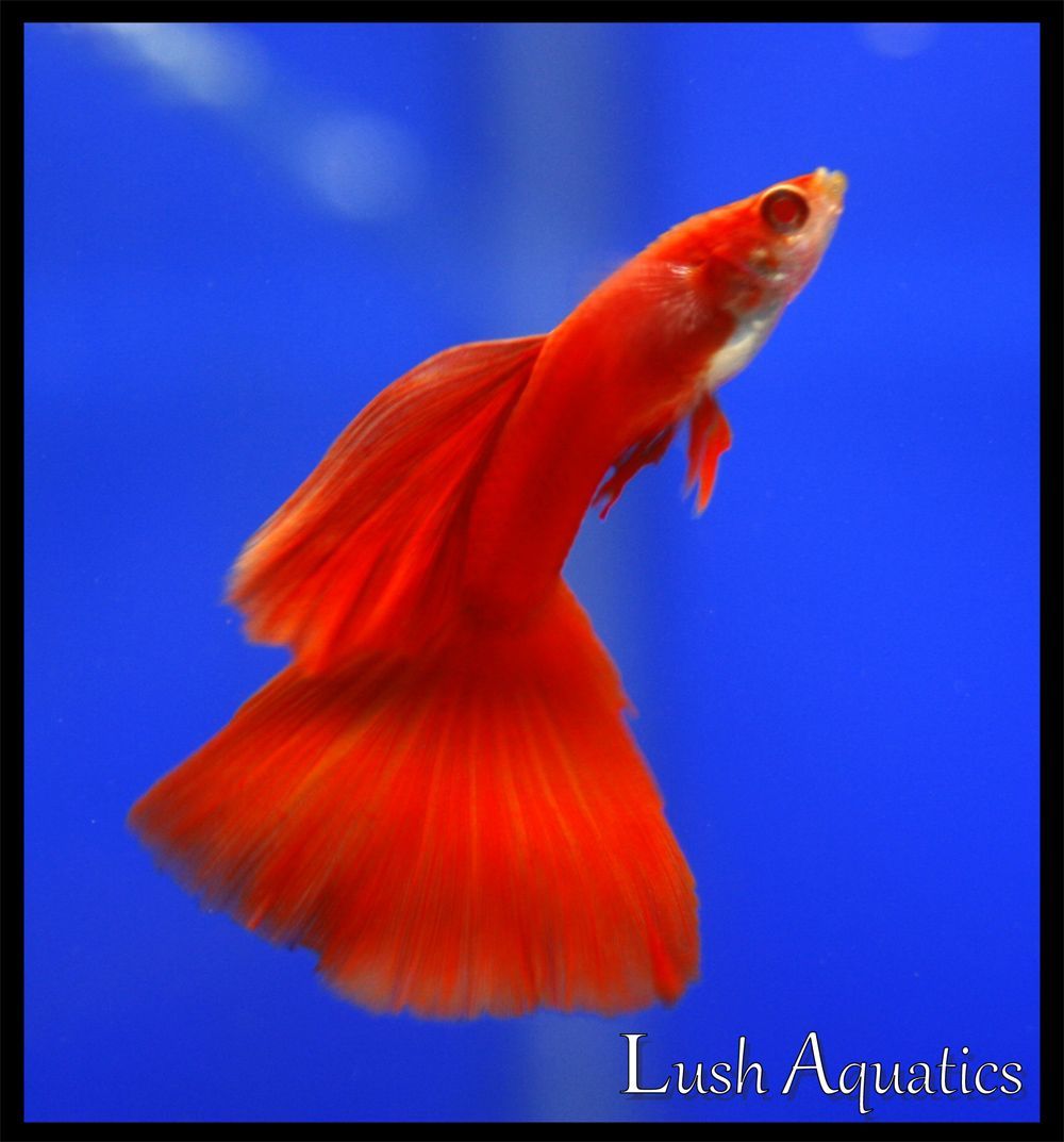 guppy - Full Albino Red Guppy | Blue and red | Pinterest