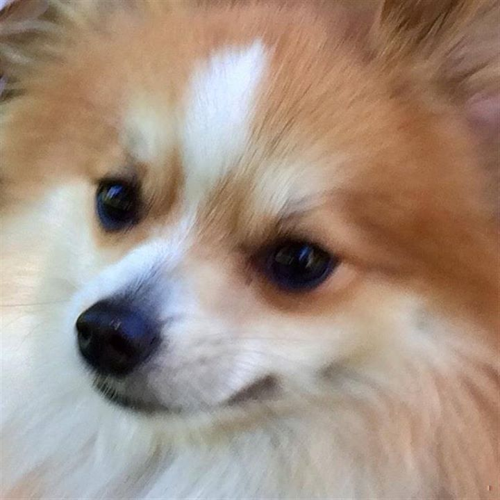 Is This Your Dog? Brooklyn Park Pomeranian / Papillon
