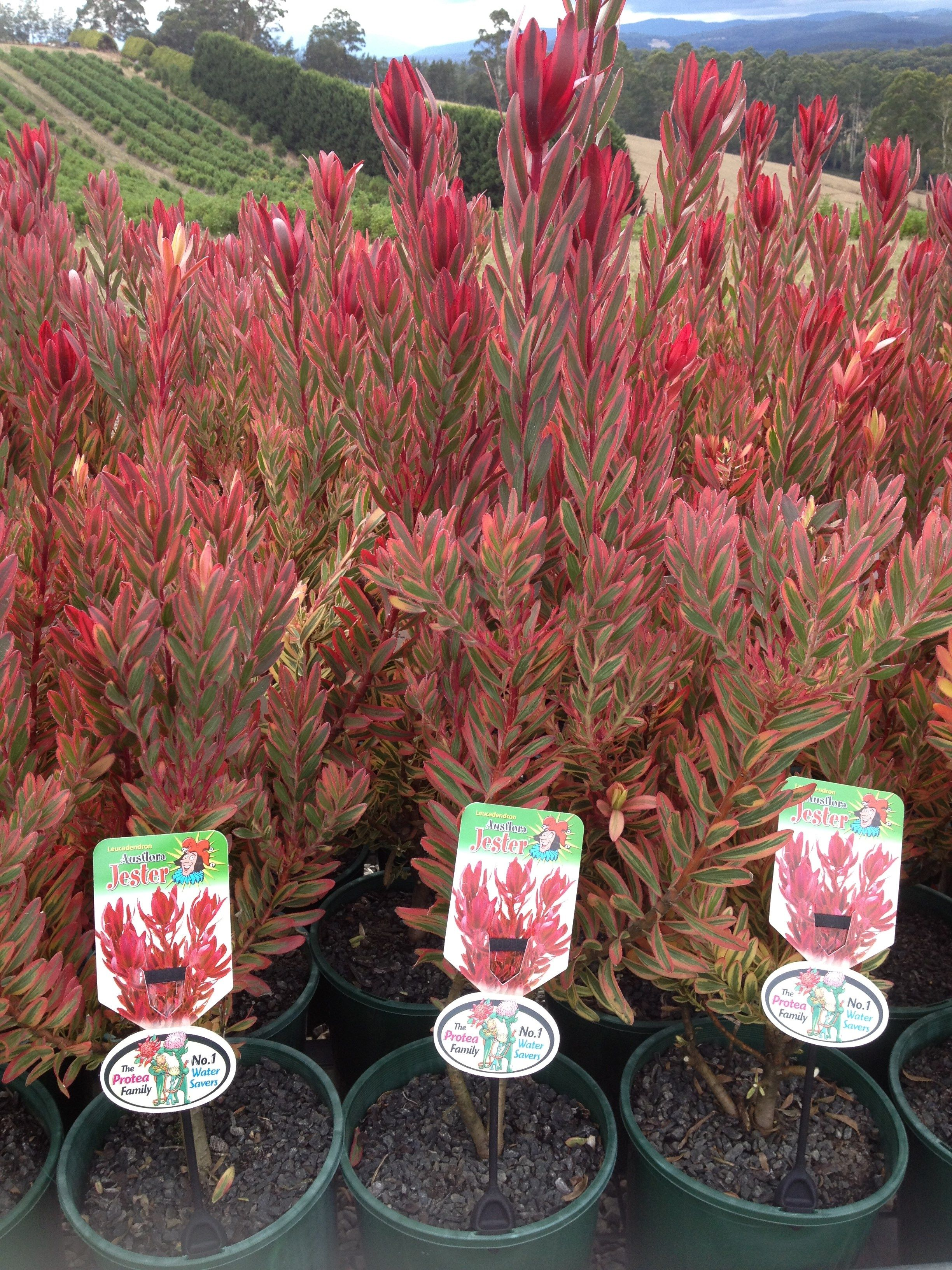 Proteaceae Leucadendron Leucadendron Jester 200mm Pots