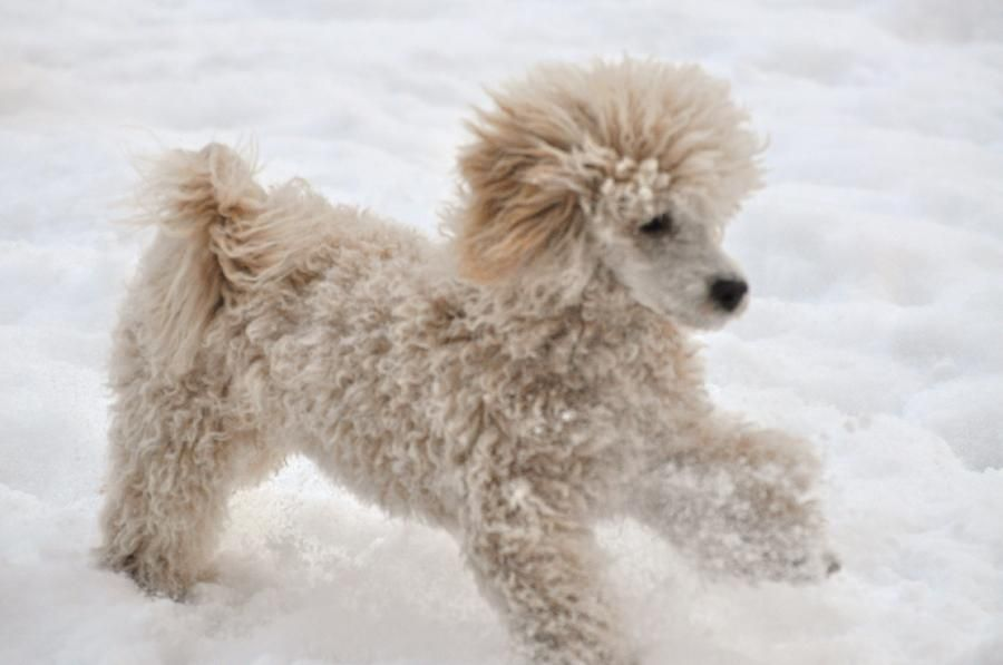 Toy Poodle By Lisa Difruscio Poodle Bulldog Breeds Dogs