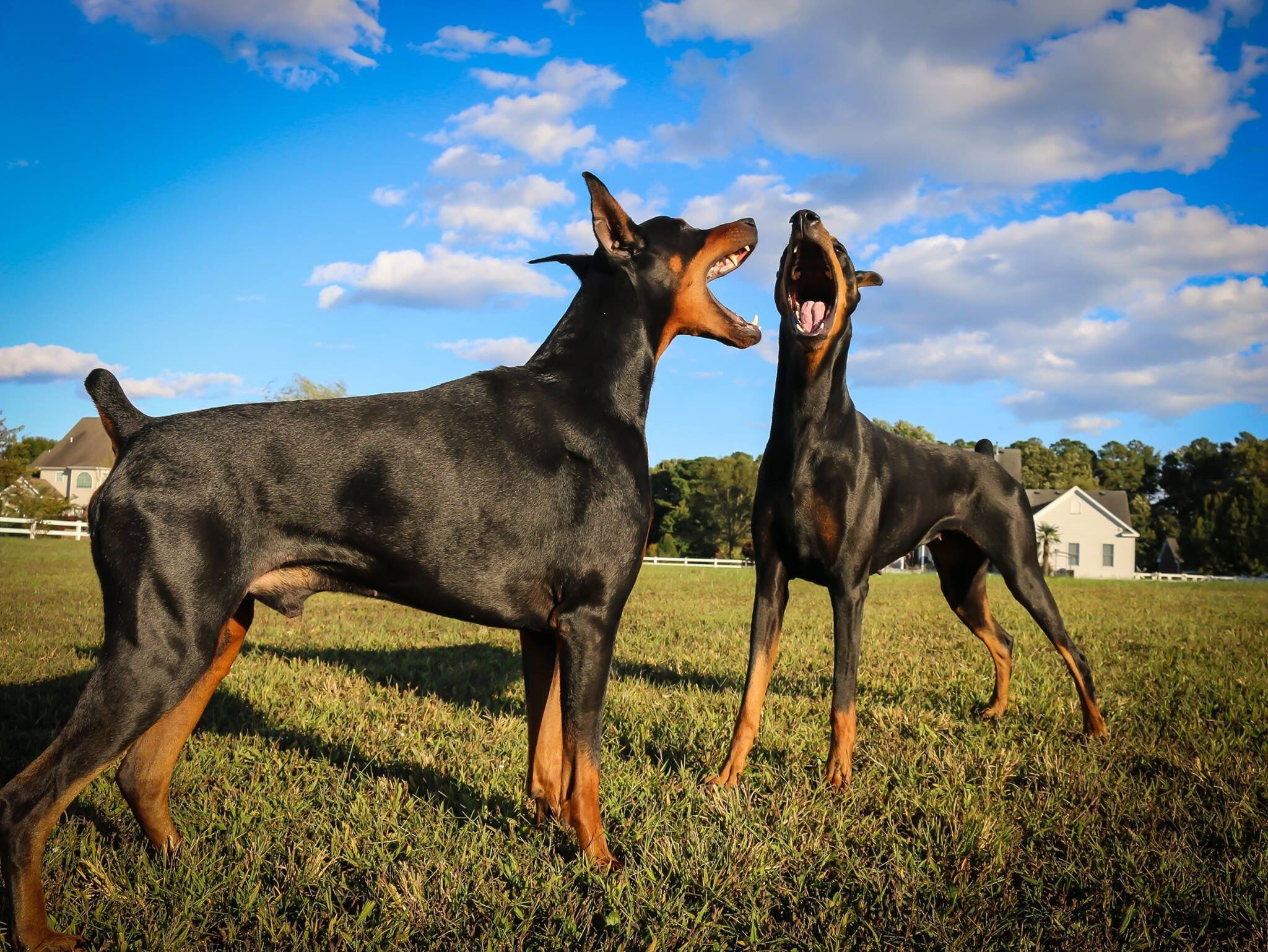 """The Doberman Version of The Sound of Music....""""the hills"""
