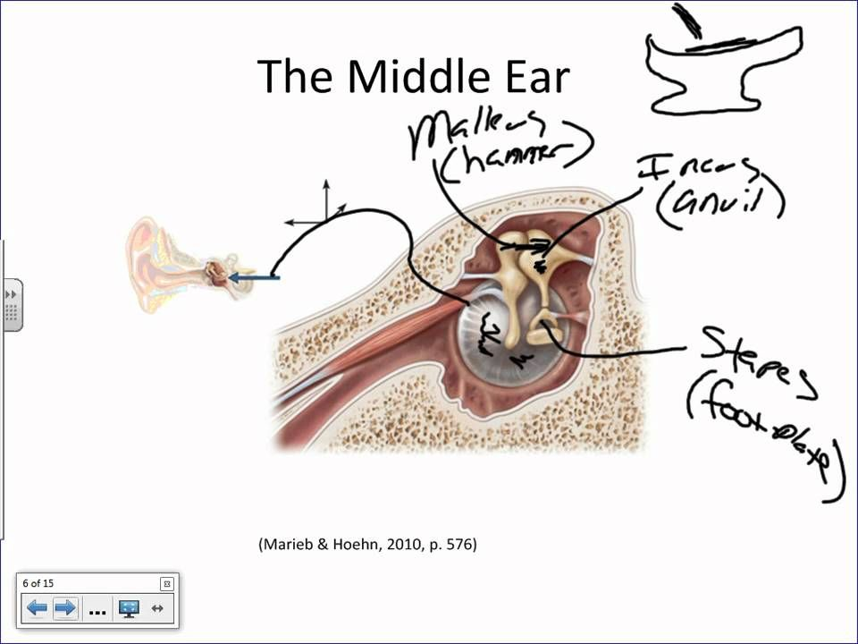 Anatomy Of The Ear And Physiology Of Hearing Basicswmv Aaron