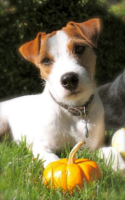 Jack Russell With A Cute Fuzzy Face Jack Russell Jack Terrier Jack Russell Terrier