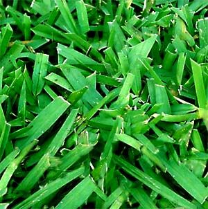 Best Fertilizer For St Augustine Grass Lawncare Net Lawn