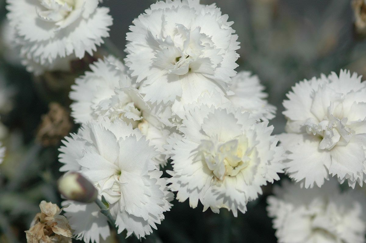 A relative of the boutonniere carnation dianthus also called a relative of the boutonniere carnation dianthus also called pinks is mightylinksfo