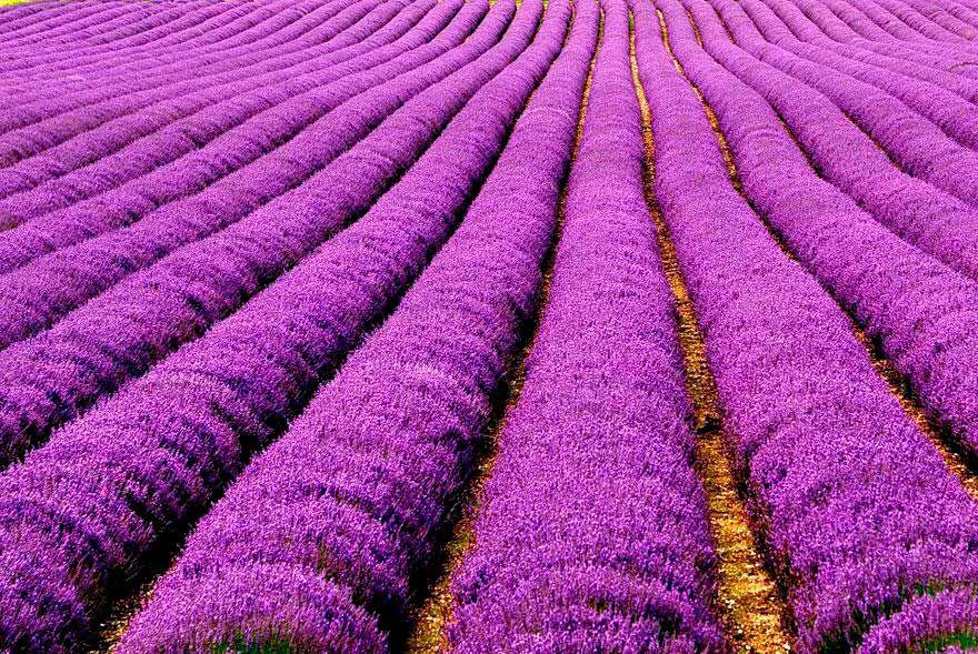Campos de Lavanda, Francia - Foto por: Erasmus T -