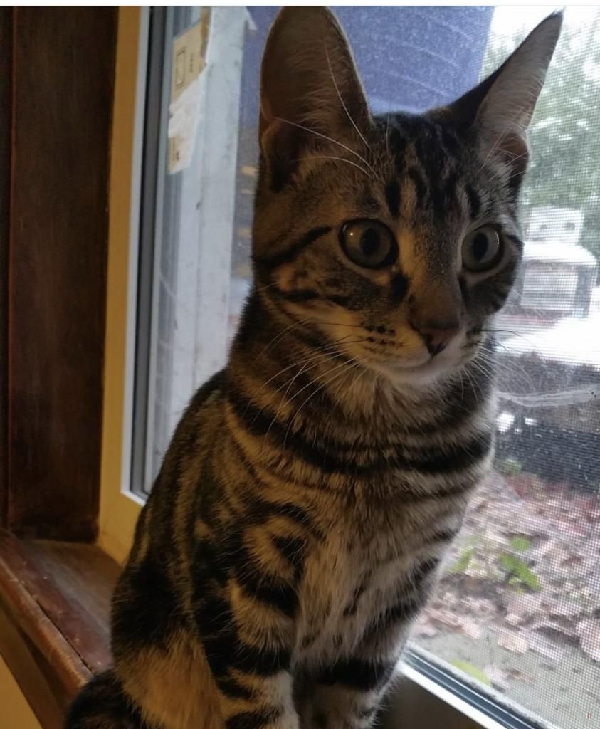 Lost Cat Male Toronto, ON, Canada M8Y 1B6 Lost cat, Cats