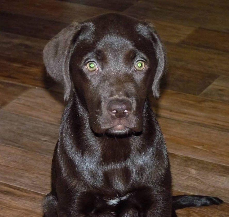 40 Labrador Dog Names And Meanings Dog Names Labrador Dog Best Dog Names
