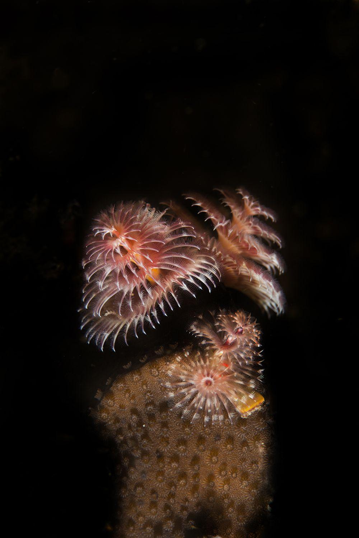 Christmas Tree Worm On Star Coral Grand Turk Saltwater Fish Tanks Ocean Treasures Sea Creatures
