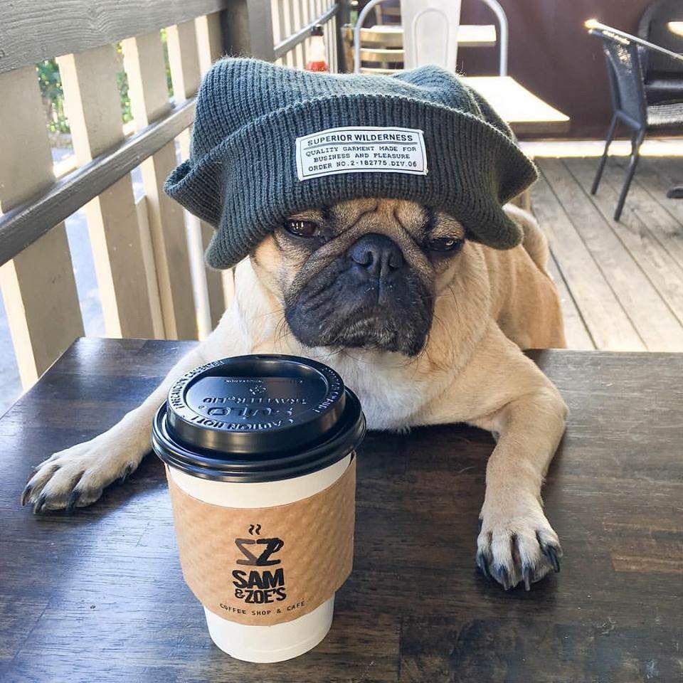 Doug the Pug, with his morning coffee x http//europug.eu