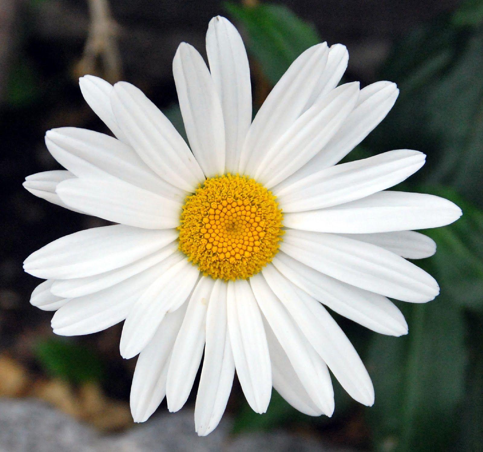 Fotos De Flores 2: MARGARITAS DE VARIOS COLORES | Flowers ...