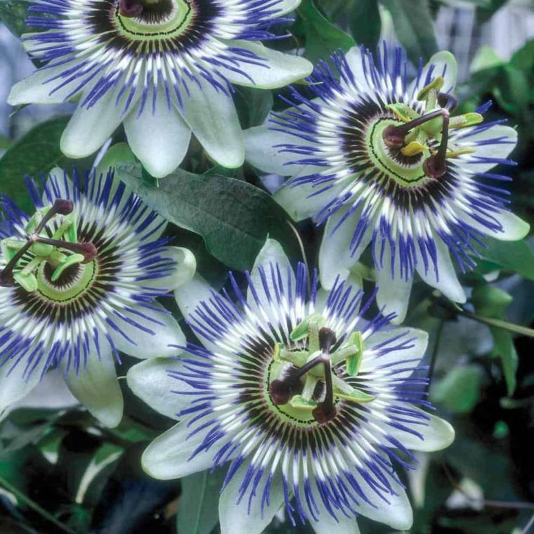 16 Most Beautiful Purple Passion Flowers Flower Meanings Pictures And Photos Passion Flower Passion Fruit Flower Most Beautiful Flowers