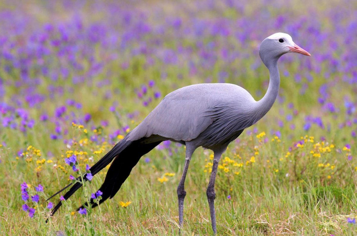 Top 10 Rare African Animals & Where to Find Them - Blue Crane