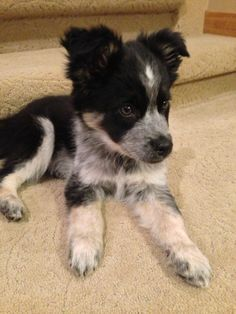 Siberian Husky Border Collie Mix Cute Dogs Puppies Collie