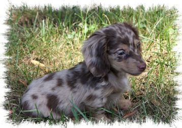 Chocolate Cream Dapple Dachshund Dapple Dachshund Puppies Cute