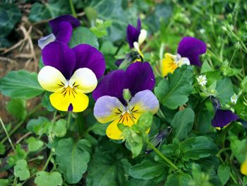 Pansy Medicinal Herb Info Pansies List Of Edible Flowers Medicinal Herbs