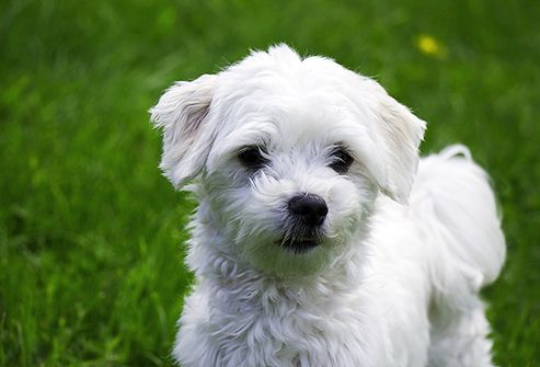 Slideshow Long Living Dog Breeds With