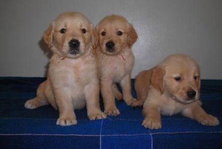 Golden Retriever Puppies For Sale Westchester Puppies Golden Retriever Puppies For Sale