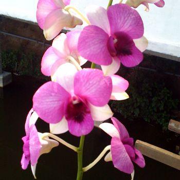 Bright Fuji Purple Dendrobium Orchids Fiftyflowers Com Dendrobium Orchids Orchids Purple Orchids