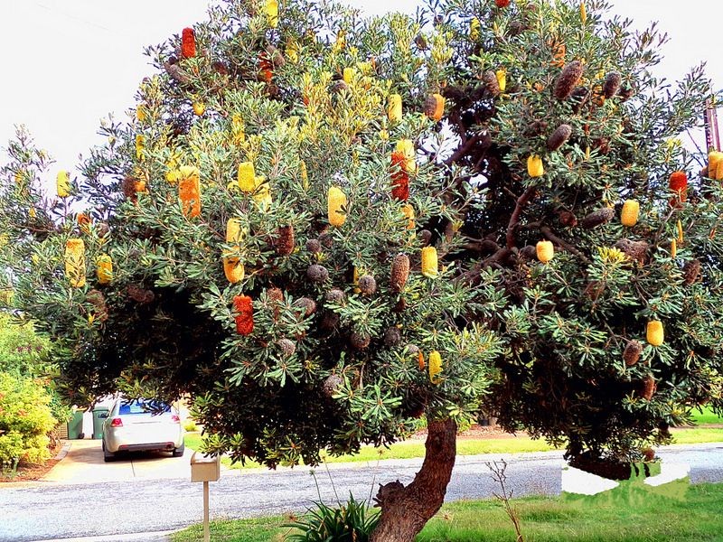 Banksia Tree Australian Wildflowers Garden Trees Plants
