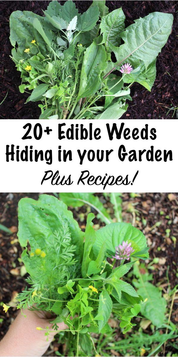 20+ Edible Weeds in Your Garden (with recipes!) #ediblegarden