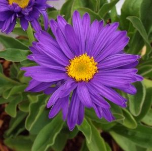 Aster alpinus dark beauty syn dunkle schone an early dunkle schone an early blooming aster may to early july with large violet blue daisy flowers with a contrasting bright yellow center mightylinksfo