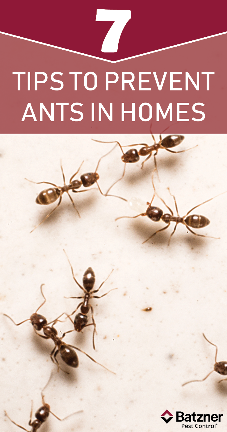 Before Ants Have The Chance To Get Out Of Control In Your Home