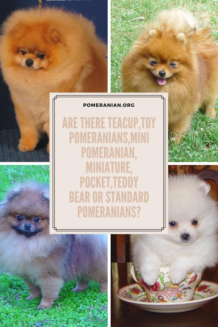 Are There Teacup Toy Pomeranians Mini Pomeranian Miniature