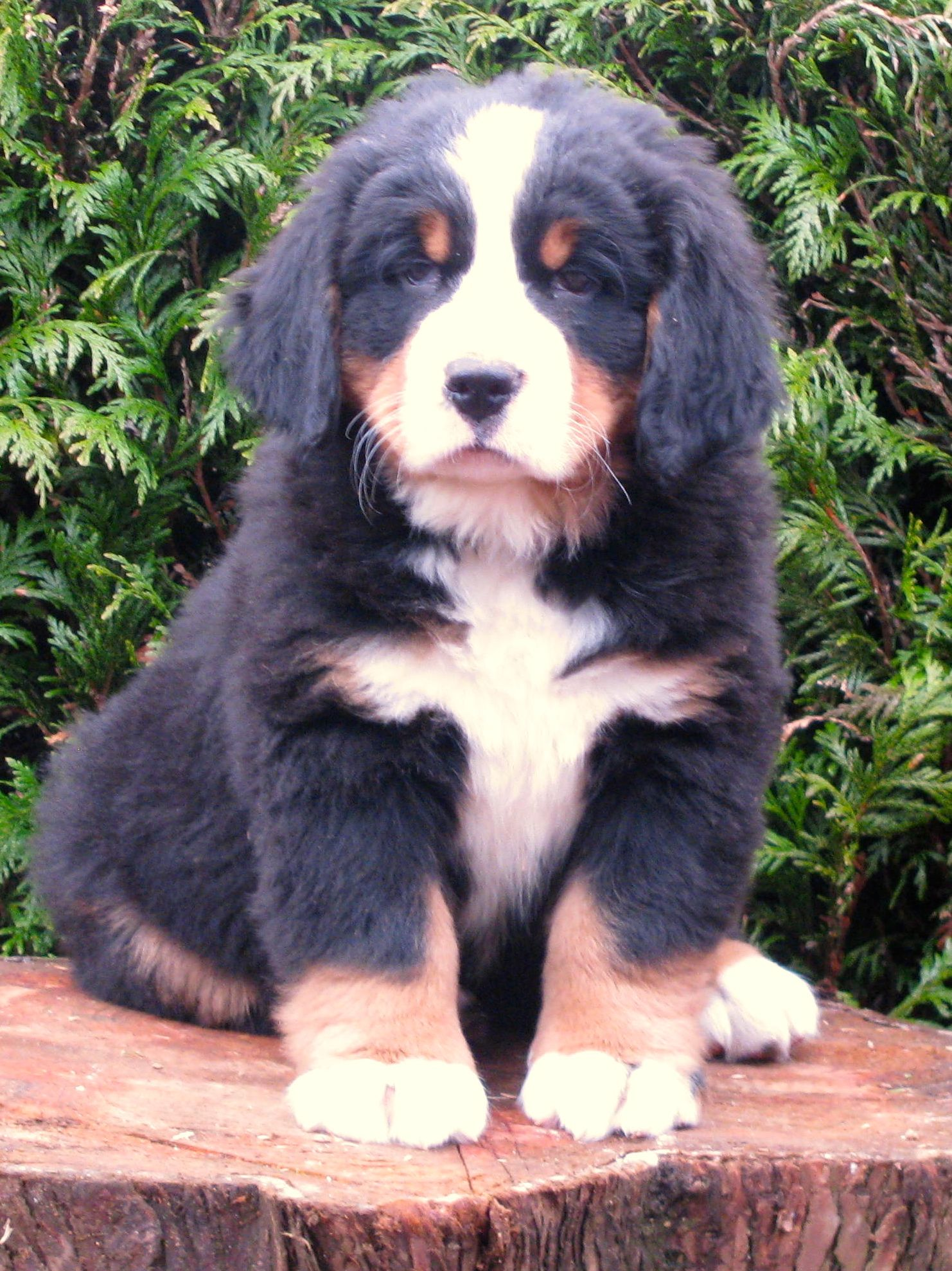 My Bernese Mountain Dog Theodore So Adorable Berenskie Psy Pasterskie Bernenski Pies Pasterski Pies Pasterski