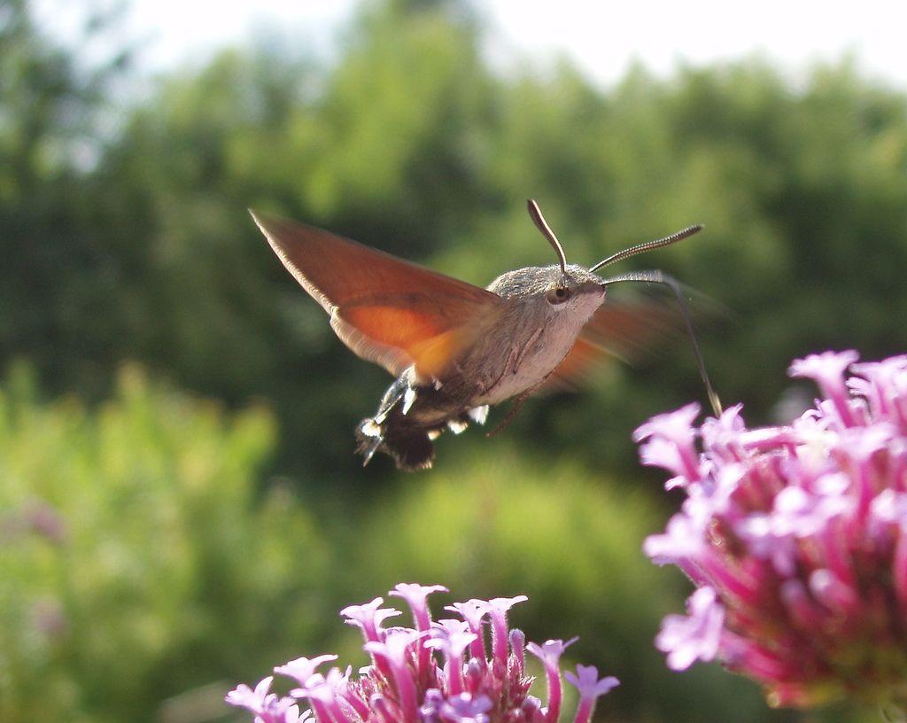 Hummingbird Hawkmoth Hummingbird moth, Moth species