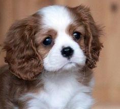 Teacup King Charles Cavalier Puppies