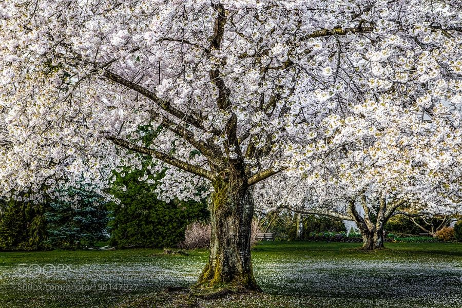 White Cherry Trees By Markbowenfineart Nature Mothernature Travel Traveling Vacation Visiting Trip Holiday Tour Tree Cherry Tree Flowering Cherry Tree