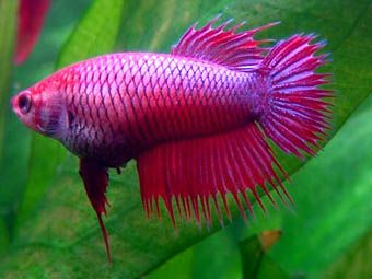 Betta Fish Care Waywildpets Peces De Acuario Pez Betta Betta